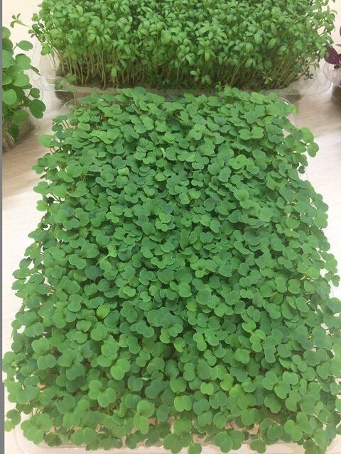 Микрозелень (Микрогрин) СПБ наборы для выращивания