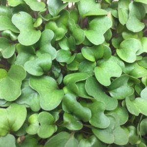 Микрозелень (Микрогрин) СПБ кольраби
