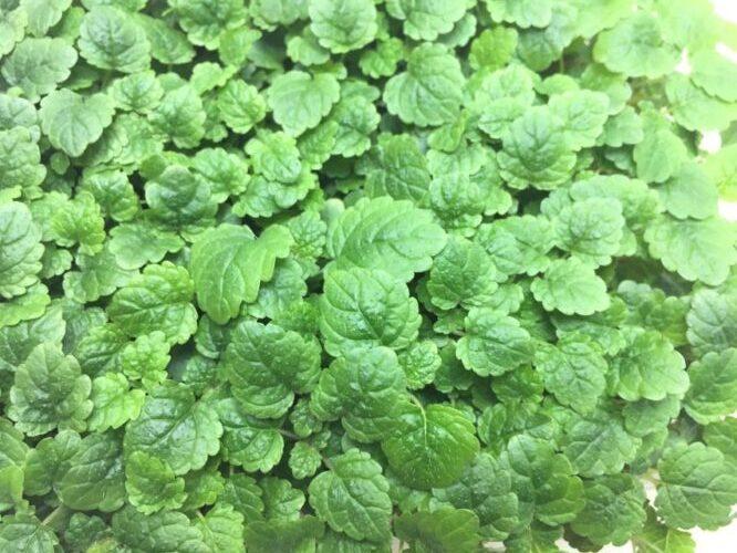Микрозелень (Микрогрин) СПБ мелисса