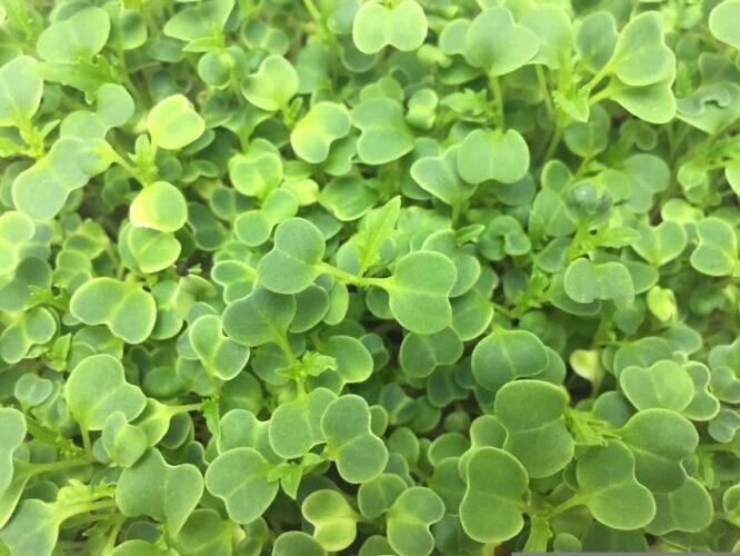Микрозелень (Микрогрин) СПБ мизуна зеленая