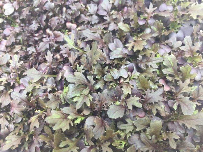 Микрозелень (Микрогрин) СПБ горчица