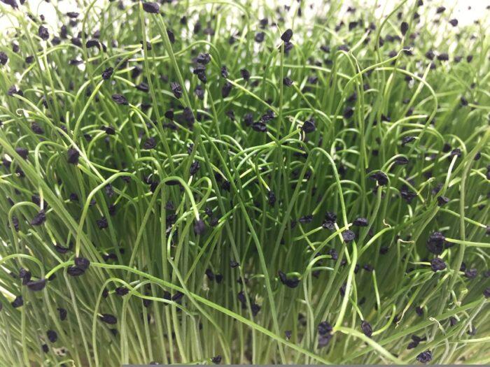 Микрозелень (Микрогрин) СПБ шнит-лук